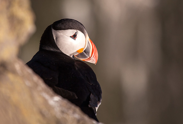 Coy Puffin