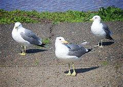 3 Pacific Sea Gulls, Don Edwards Regional Park