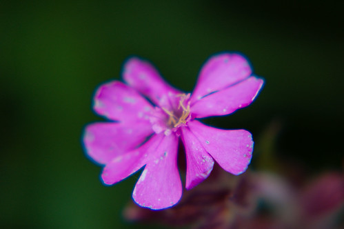 Red campion flowering