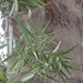 Garden Inventory: Podocarpus - 2