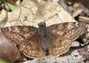 Female Juvenal's Duskywing Butterfly