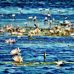 Maybe not Monet but I still like these water lilies from #Chobe in #Botswana