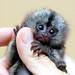 Marmoset monkey by floridapfe