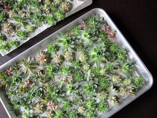 sweet succulent rosettes