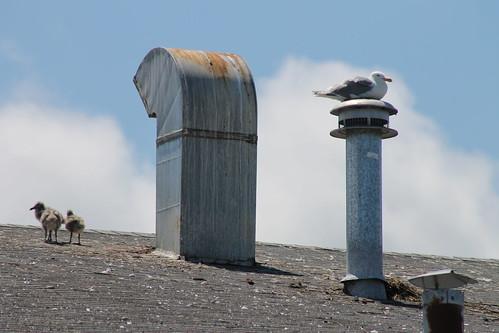 seagull gull larus glaucouswingedgull larusglaucescens glaucescens gullchicks roofnesting