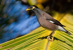 Common Mynah (Acridotheres tristis)