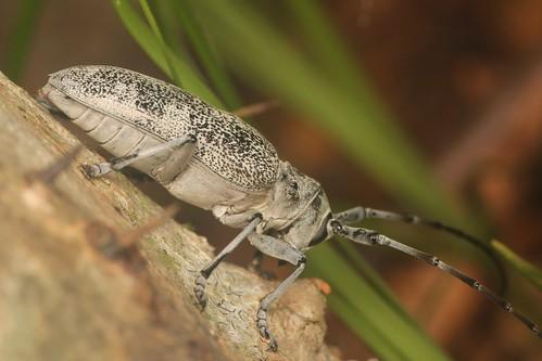 ヨコヤマヒゲナガカミキリ