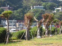 海山國小校園老樹移至金山海邊,即使僥倖存活也將成「棒棒糖」。