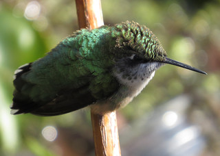 Ruby-throated Hummingbird 5