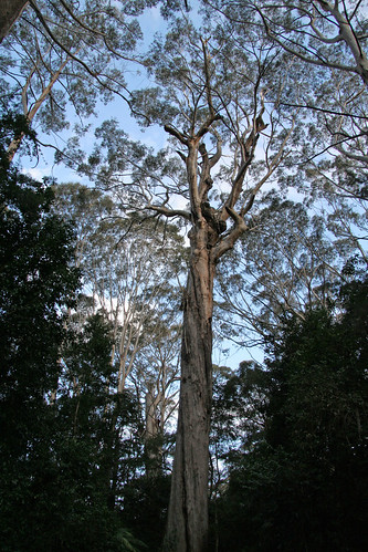 20130822_0894 The Bird Tree (largest by volume in NSW)