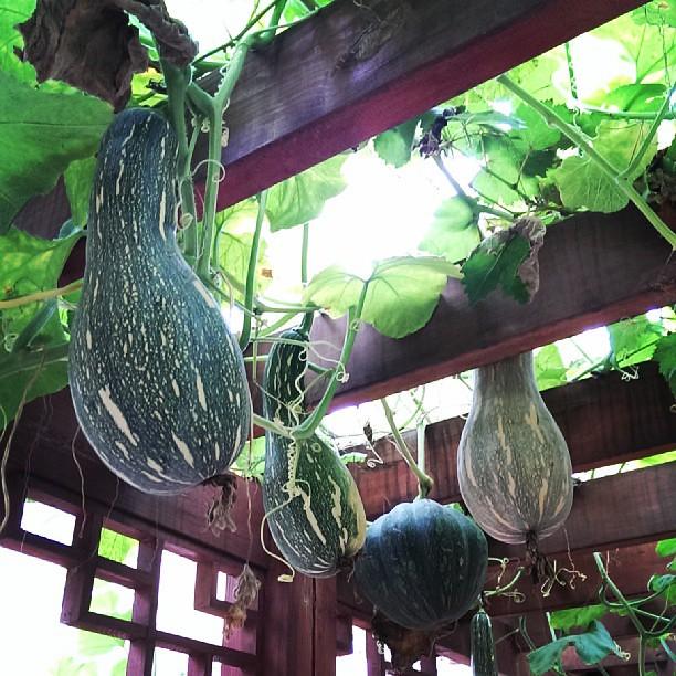 Homegrown melons