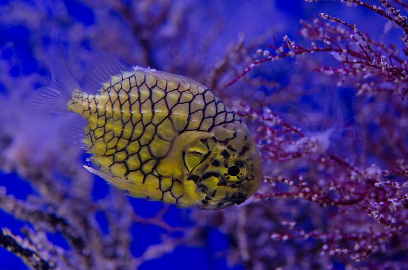 マツカサウオ pinecone fish