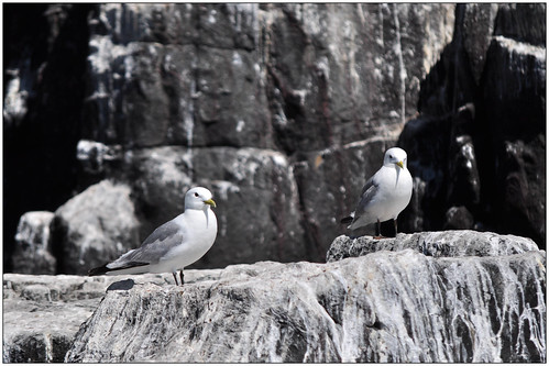 sco_gulls