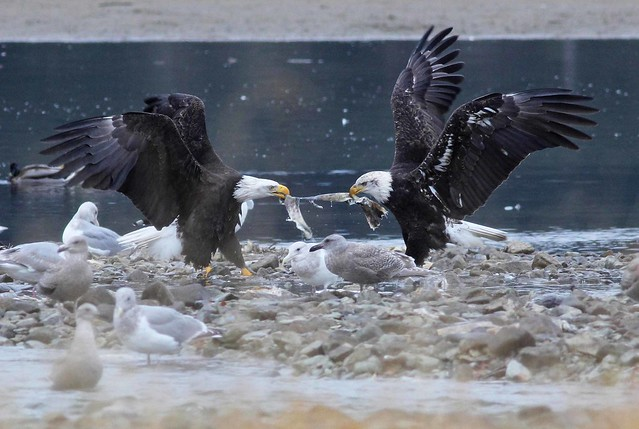 Bald Eagle tug-of-war