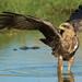 Black Kite (Milvus migrans) in water