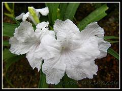 Ruellia brittoniana 'White Katie' (Dwarf White Bells, Dwarf White Ruellia), 2 Nov 2013