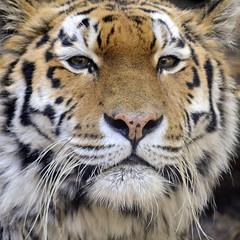 animal, big cats, tiger, mammal, fauna, close-up, whiskers, wildlife,
