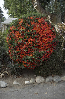 ball of berries bush