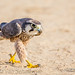Lanner Falcon hunting insects by gerdavs