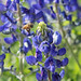 Rain is good for Bluebonnets by DustDevilDiver (Briley Mitchell)