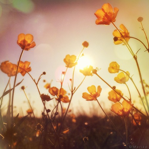 Buttercup Sunset