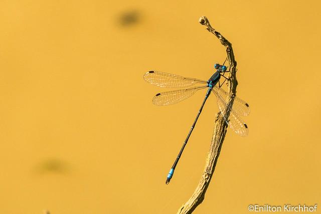 Enilton Kirchhof - Dragonfly (Libu00e9lula)