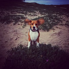 "Beagle ready for take-off! Got off work ""early"" and was able to take the boys to the beach before the sun went down... Just what I needed! :heart:️ love them!"