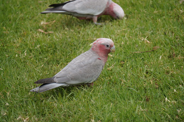 Galah, or Australian rose-breasted cockatoo