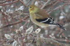 goldfinch IMG_1524a