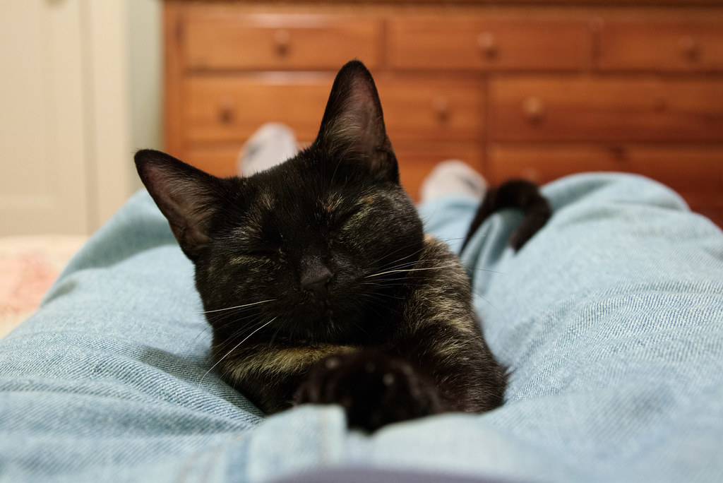 Our tortoiseshell kitten Trixie sleeps on my lap