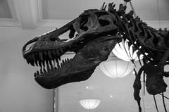 white, velociraptor, tyrannosaurus, monochrome photography, dinosaur, monochrome, black-and-white, black,