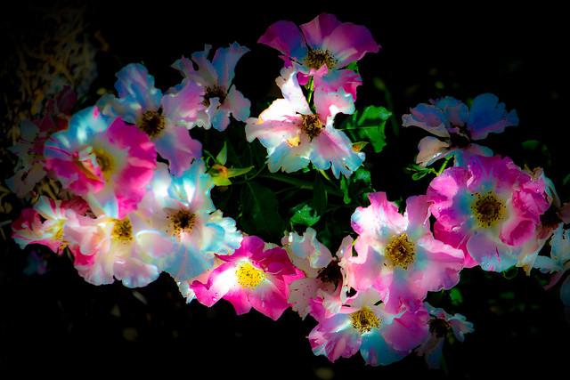Rose Galaxy - (explored) Flickr Explore – Feb.  17,2015