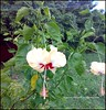 Beautiful Hibiscus clicked by Me!