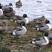 2015-02-04 Northern Pintail Ducks (1024x680) by -jon