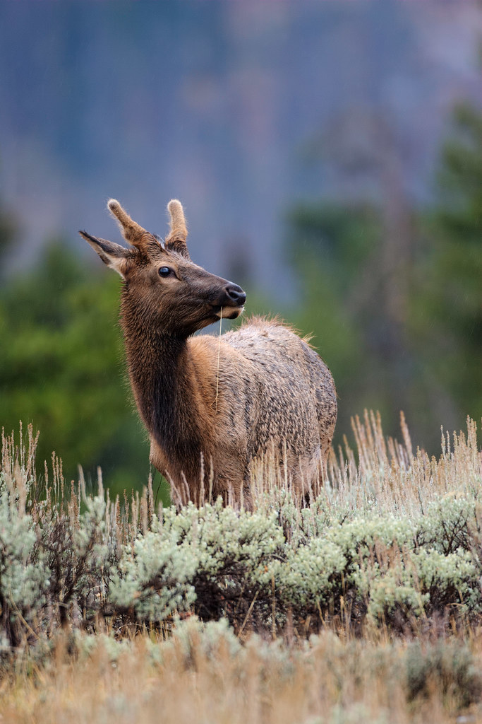 A young elk bull grazes in a meadow in Grand Teton National Park