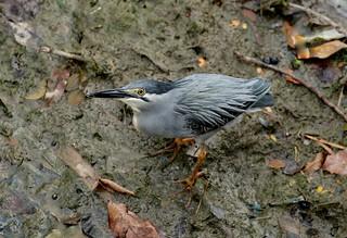 Striated/Little Heron ·---- Butorides striata
