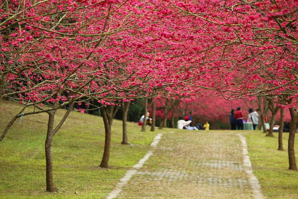 九族櫻花祭 (4)