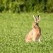 A Happy Hare - un lièvre heureux