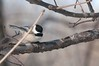 2016 Black-capped Chickadee 6