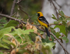 Hooded Oriole with his little friend  Jiminy Cricket   .... Temescal Canyon 062