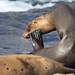 EOS14634 View Large. Scratch when you itch. Wild Sea Lion. La Jolla Cove, California