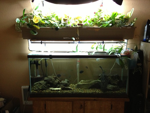 hydroponika w akwarium