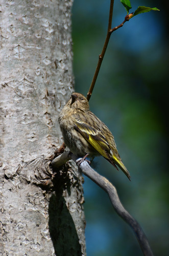 <p><i>Carduelis pinus</i>, Fringillidae<br /> Maplewood Conservation Area, North Vancouver, British Columbia, Canada<br /> Nikon D5100, 70-300 mm f/4.5-5.6<br /> May 5, 2013</p>