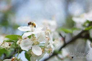 Große Blüten kleine Biene
