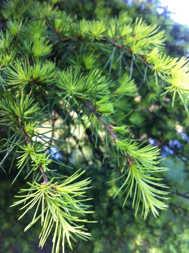 Budding Cedar of Lebanon by Ayala Moriel