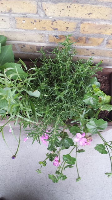 rosemary planting in Planter boxes by Cesy