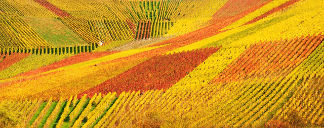 Autum Vineyard Panorama