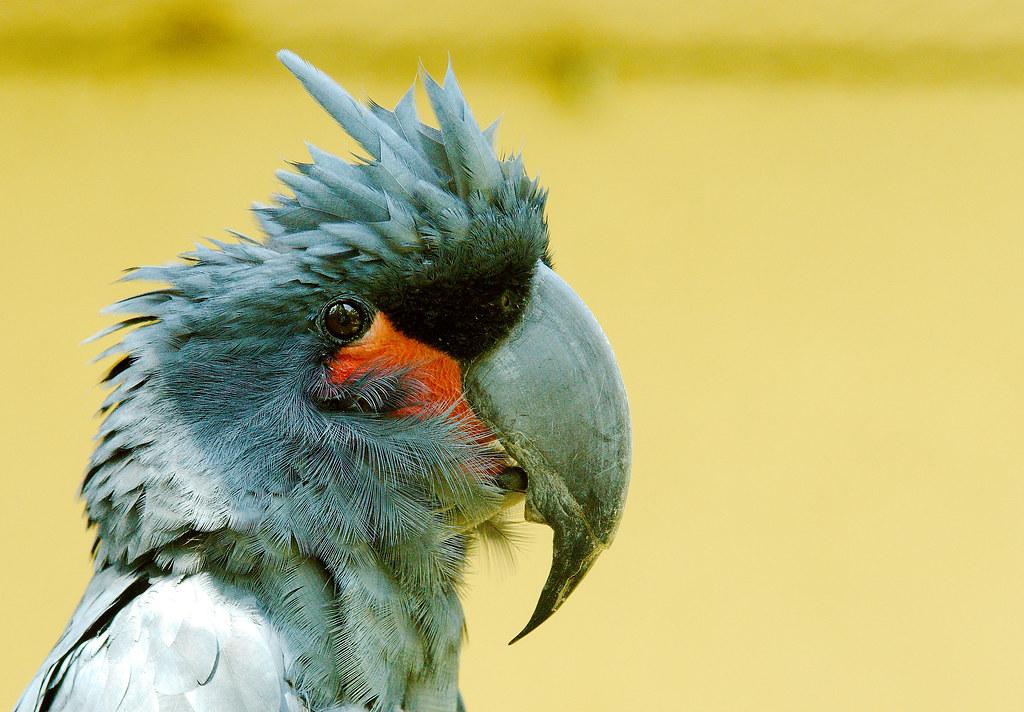 Palm Cockatoo (Probosciger aterrimus)_1