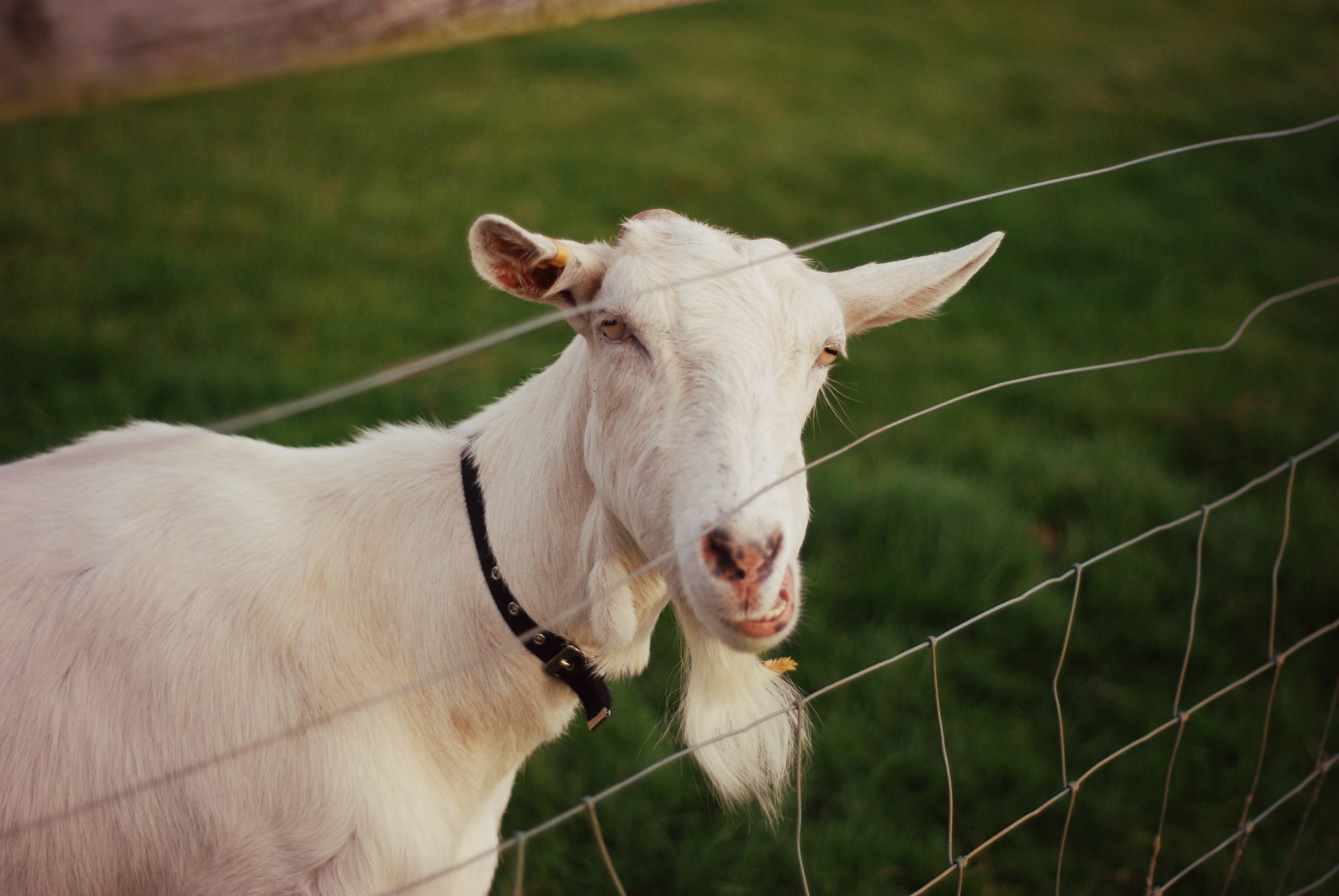 hello-goat