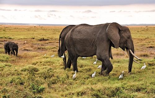 holiday elephant cattle kenya elefant egret kenia amboseli cattleegret kenyaholiday kuhreiher keniaholiday